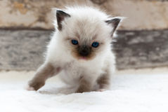 Chat de Ragdoll Image stock