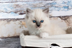 Chat de Ragdoll photographie stock