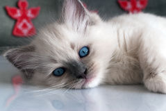 Chat de Ragdoll Photo libre de droits