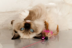 Chat de Ragdoll Images stock