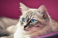 Chat de Ragdoll observé par bleu Photos libres de droits