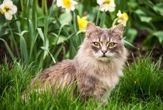 Chat de rue dans le lit de fleur Le chat pelucheux gris se repose dans l'herbe verte Photo stock