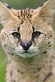 Chat de Serval Photos stock