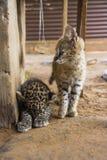 Chat de Serval et de léopard Photographie stock