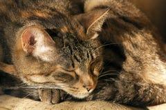 Chat de sommeil Photos libres de droits