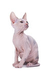 Chat de sphinx Images stock