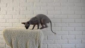 Chat de sphinx sautant sur la plate-forme molle clips vidéos