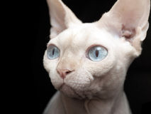 Chat de Sphynx Photo libre de droits