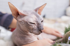 Chat de Sphynx Photo stock