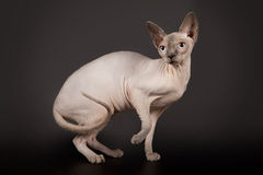 Chat de Sphynx sur le fond noir de studio Photo stock