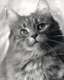 Chat de studio Images libres de droits