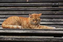 Chat de tabby de gingembre Photographie stock libre de droits