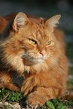 Chat de Tabby orange au soleil image libre de droits