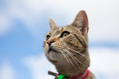 Chat de Tabby regardant fixement dans le ciel bleu photos libres de droits