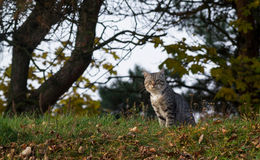 Chat de Tabby regardant l'appareil-photo Photo libre de droits