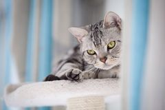 Chat de Tabby regardant l'appareil-photo Images libres de droits