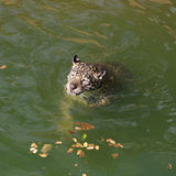 Chat de tigre de Jaguar se reposant et nageant Photo stock