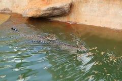 Chat de tigre de Jaguar se reposant et nageant Image libre de droits