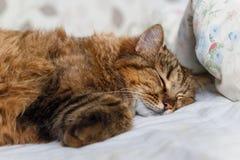 Chat de tigre dormant dans le lit Photo stock