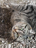 Chat de tigre européen se trouvant sur des peebles photos stock