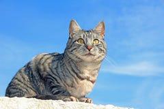 Chat de tigre se reposant sur le mur image libre de droits