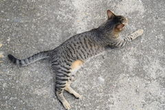 Chat de tigre se trouvant sur un plancher en béton, d'en haut Images stock