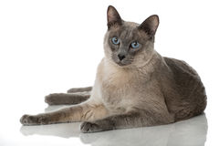 Chat de Tonkinese Images stock