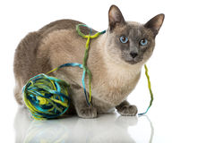 Chat de Tonkinese Photographie stock