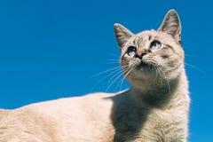 Chat de Tonkinese contre le ciel bleu clair Image libre de droits