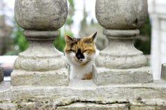 chat de Trois-couleur Photos stock
