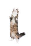 Chat debout Photos libres de droits