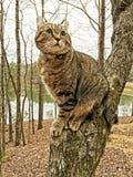 Chat des montagnes de Lynx dans un arbre Images libres de droits