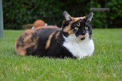 Chat domestique avec les yeux jaunes s'étendant sur l'herbe Images libres de droits