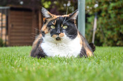 Chat domestique avec les yeux jaunes s'étendant sur l'herbe images stock
