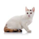 Chat domestique blanc avec une queue multicolore Photos libres de droits