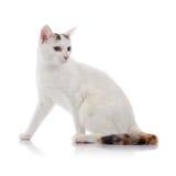 Chat domestique blanc avec une queue rayée multicolore Photographie stock libre de droits