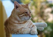 Chat domestique (catus de silvestris F. de Felis) Photographie stock libre de droits