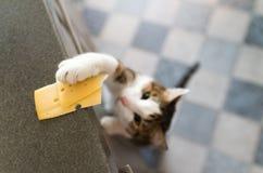 Chat domestique essayant de voler la tranche de fromage d'une table photographie stock