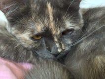 Chat domestique gris Photo stock