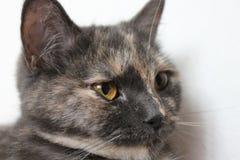 Chat domestique gris Photographie stock