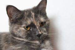 Chat domestique gris Photos stock