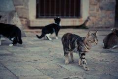 Chat domestique impressionnant marchant dans la vieille rue de ville de l'Europe dans le style de vintage Photographie stock libre de droits
