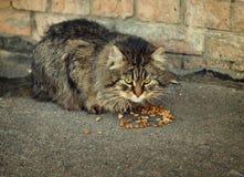 Chat domestique mangeant de la nourriture sèche Images stock