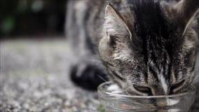Chat domestique mignon de alimentation de cheveux courts Chat de Tabby dans le jardin clips vidéos