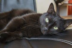 Chat domestique noir Photo libre de droits