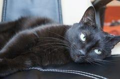 Chat domestique noir Images libres de droits