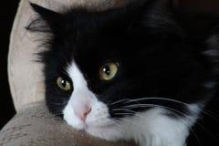 Chat domestique noir et blanc Photo stock