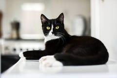Chat domestique noir et blanc, mensonge à la maison, détente et calme Photos stock