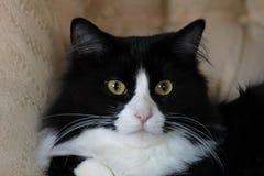 Chat domestique noir et blanc se reposant sur la chaise Image libre de droits