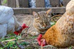 Chat domestique observant les poulets image stock